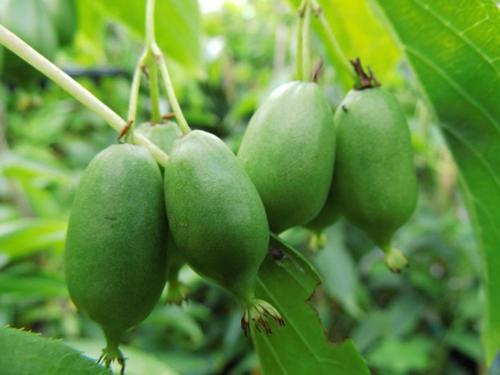 Actinidia-arguta-Issai-Frucht_Kiwi